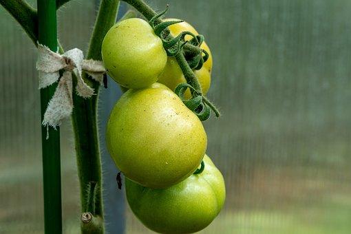 Tomatoes, Green Tomatoes, Food, Fruits, Healthy, Fresh
