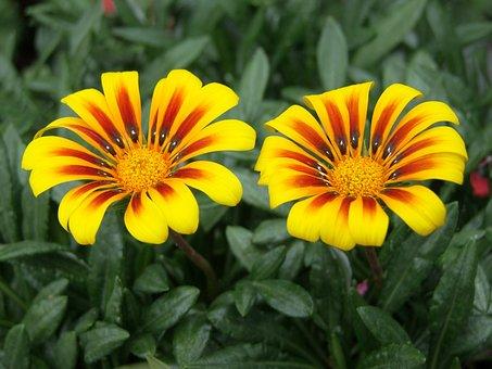 Gorgeous Rain Flower, Gaza To Rigen-old, Beautiful