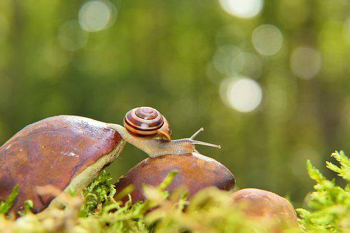Snail, Grove Snail, Mollusc, Brown-lipped Snail