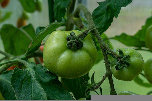 Tomatoes, Green Tomatoes, Fruits, Food, Healthy, Fresh