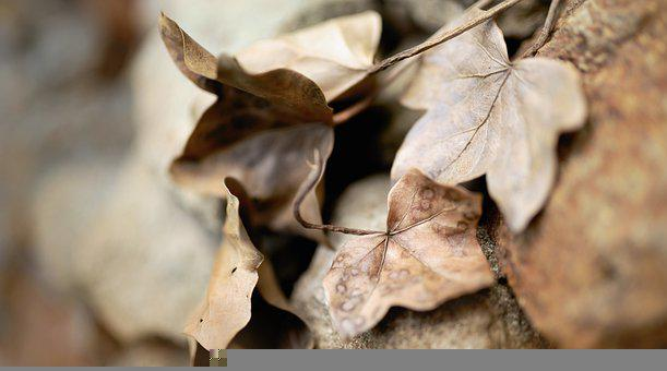 Leaves, Ivy, Dry Leaves, Brown Leaves, Withered, Hedera