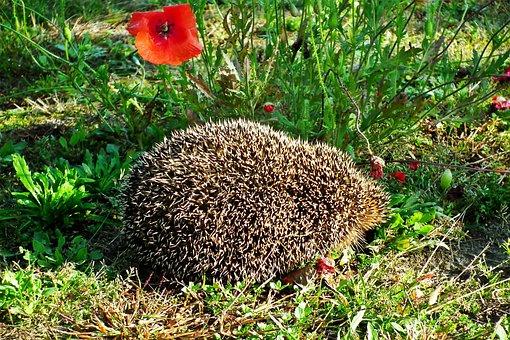 Hedgehog, Animal, Mammal, Spiny Mammal, Spiny Animal