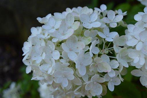 Hydrangea, White Hydrangea, Flowers