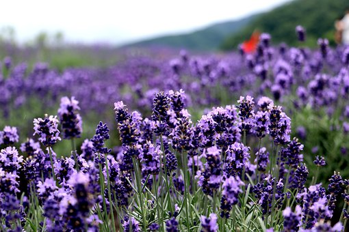 Lavenders, Flowers, Plants, Bloom, Blossom