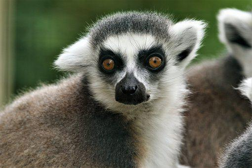 Ring-tailed Lemur, Lemur, Animal, Wildlife, Mammal