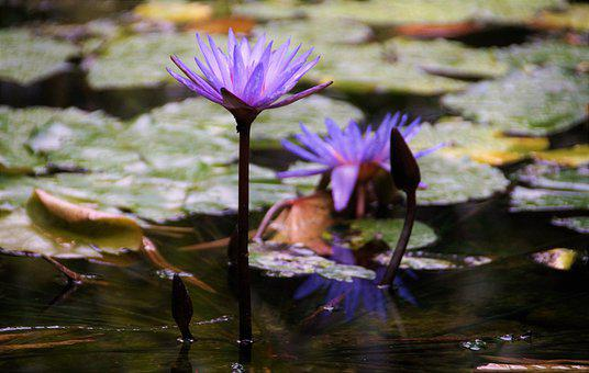 Waterlily, Lotus Flower, Lily Pads, Aquatic Plants
