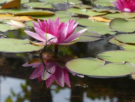 Water Lily, Lotus, Flower, Pink Flower, Lily Pads