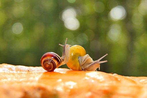 Snails, Grove Snails, Molluscs, Brown-lipped Snails