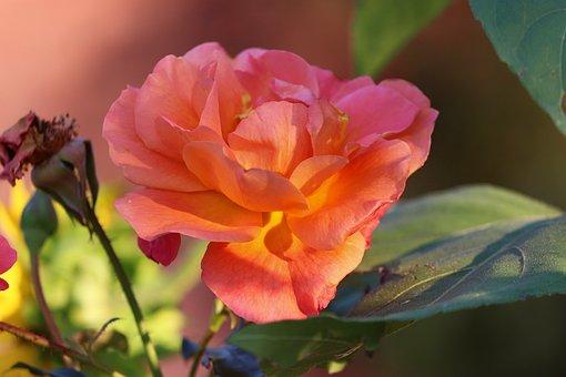 Rose, Orange Rose, Flower, Orange Flower