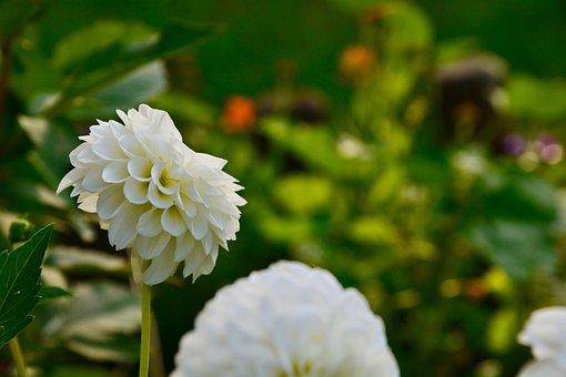 Dahlia, Pompon Dahlia, Flower, White Flower, Petals