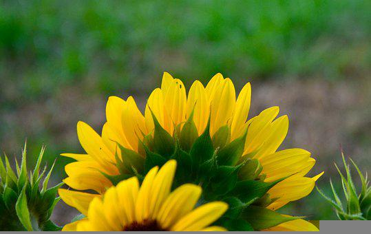 Sunflowers, Flowers, Petals