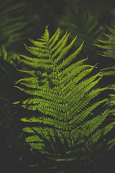 Fern, Leaves, Plants, Foliage, Green, Nature, Outdoors