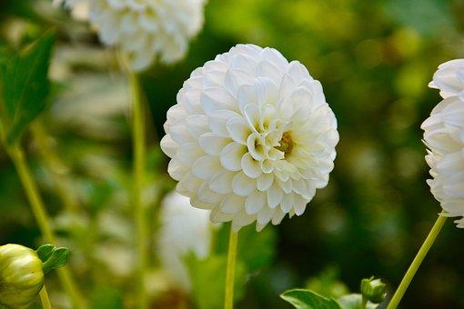 Dahlia, Pompon Dahlia, Flower