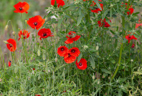 Poppies, Flowers, Wildflowers, Bloom, Blossom