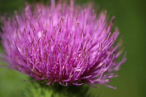 Thistles, Purple Petals, Bloom, Blossom, Flora, Flower