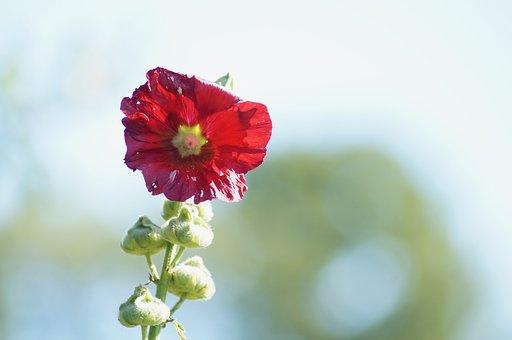 Flower, Red, Red Flower, Bloom, Blossom, Flora