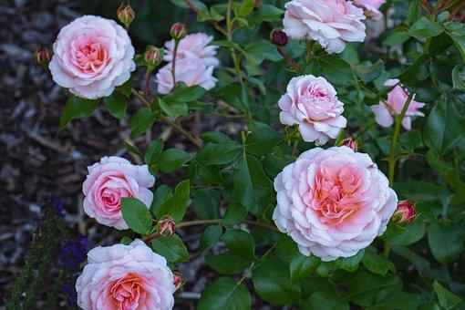 Roses, Flowers, Bloom, Blossom, Leaves, Foliage