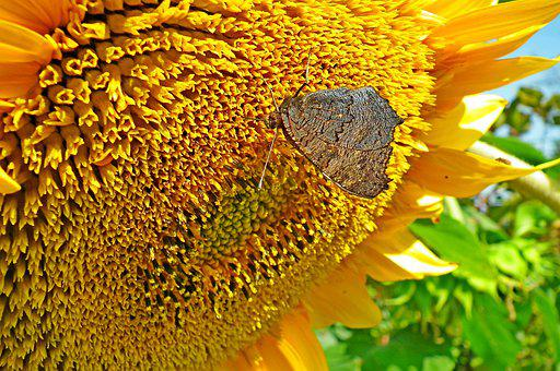 Sunflower, Butterfly, Pollination, Insect, Flower