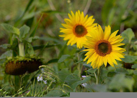Western Sunflower, Sunflower, Flower, Yellow Flower