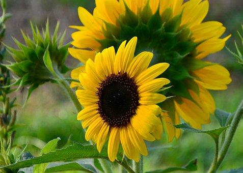 Sunflower, Petals, Flower, Yellow Flower