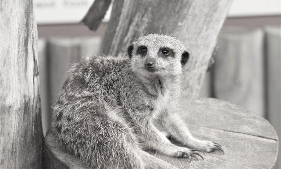 Meerkat, Suricate, Animal, Small Mongoose, Mammal