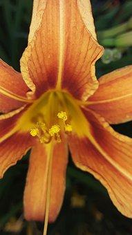 Daylily, Orange Daylily, Flower, Tawny Daylily