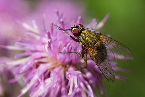 Fly, Insect, Thistle, Flower, Wildflower, Blossom