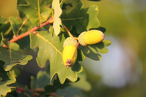 Acorns, Oak, Quercus, Oak Leaves, Tree, Oak Tree