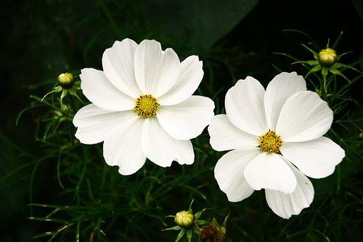 Garden Cosmos, White Cosmos, Flowers, White Flowers