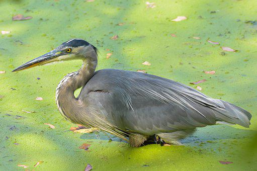 Nature, Wildlife, Bird, Great Blue Heron, Swamp
