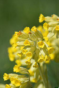 Cowslip, Yellow Flowers, Flowers, Common Cowslip
