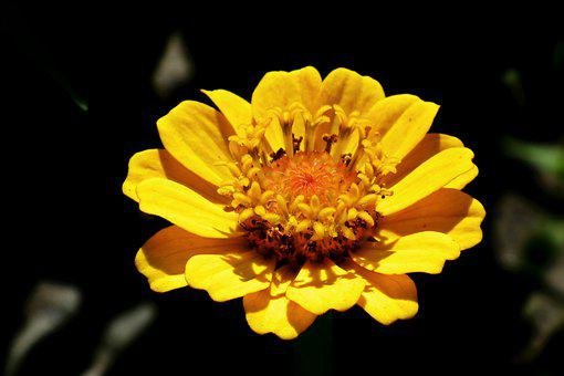 Zinnia, Yellow Zinnia, Flower, Yellow Flower, Petals