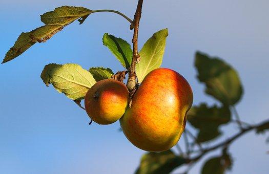 Apples, Fruits, Apple Tree, Ripe, Healthy, Vitamins