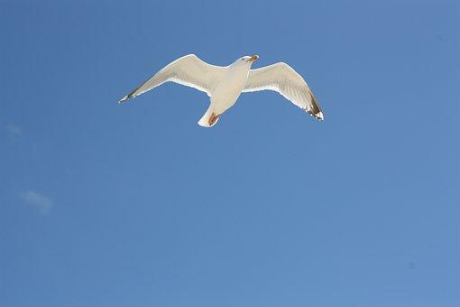 Gull, Seagull, Bird, Wings, Flying, Sky, Nature