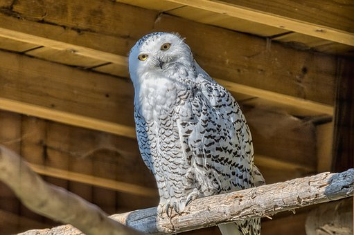 Snowy Owl, Owl, Bird, White Owl, Animal, Plumage