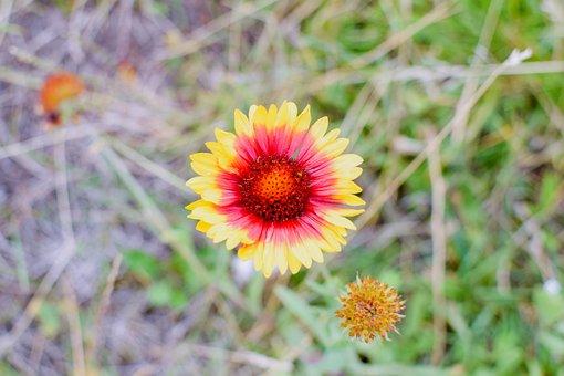 Flower, Bud, Plant, Wildflower, Bloom, Blossom