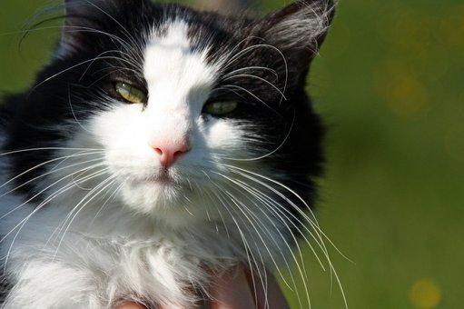 Cat, Pet, Animal, Whiskers, Domestic Cat