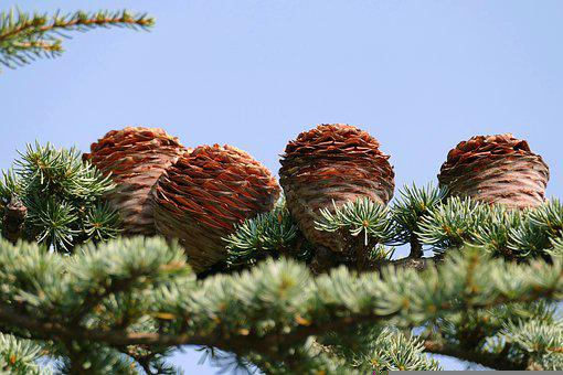 Lebanon Cedar, Cedrus Libani, Cones, Pine Cones