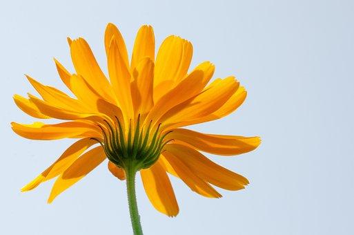 Flower, Marigold, Yellow Flower