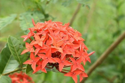 West Indian Jasmine, Flowers, Plant