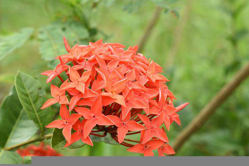 West Indian Jasmine, Flowers, Plant, Ixora, Bloom