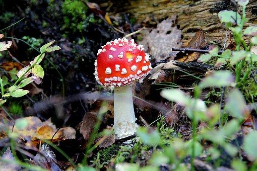 Fly Agaric, Amanitamuscaria, Mushroom, Toxic, Poison