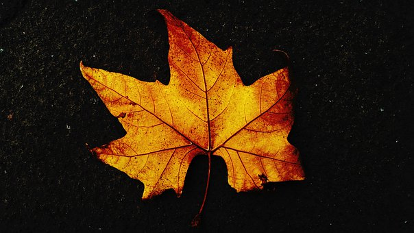 Fall, Leaf, Maple Leaf, Fall Season, Autumn Leaf
