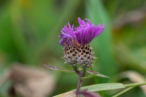 Musk Thistle, Thistles, Flowers, Purple Flowers, Bloom