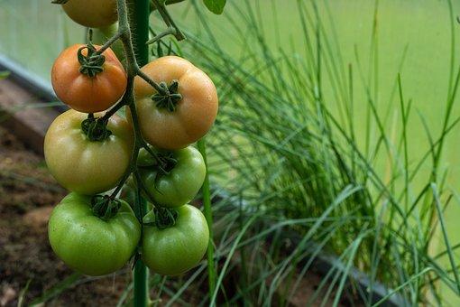 Tomatoes, Vegetables, Produce, Harvest, Organic, Food