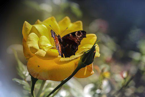 Butterfly, Flower, Pollination, Peacock Butterfly