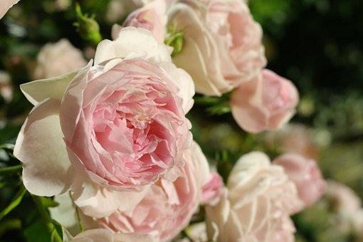 Roses, Pink Roses, Flowers, Pink Flowers, Petals, Bloom