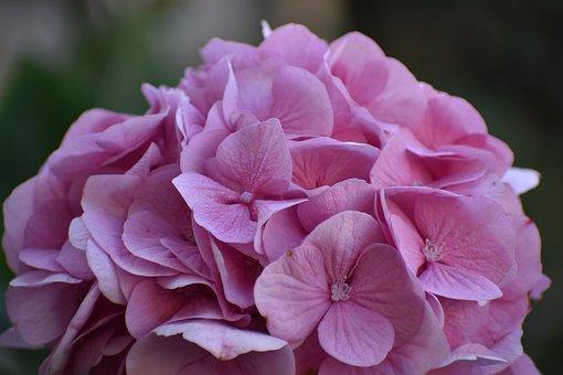 Hydrangea, Pink Hydrangea, Flowers, Pink Flowers