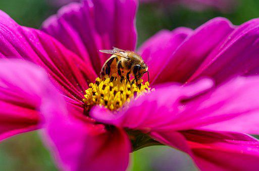 Kosmeen, Bee, Pollen, Sprinkle, Insect, Entomology