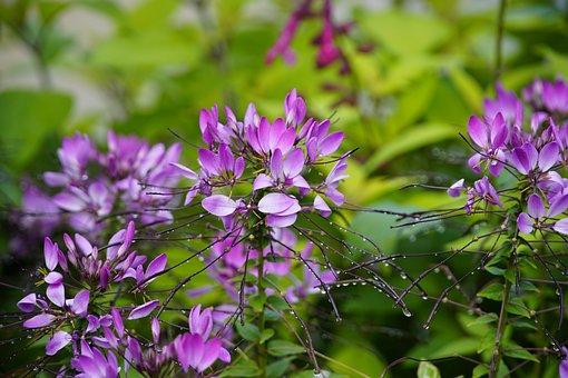 Flowers, Violet Flowers, Raindrops